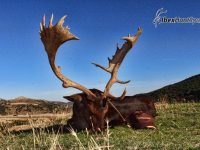 Spanish Fallo deer