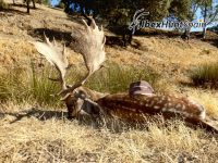 Fallow deer hunt in Spain