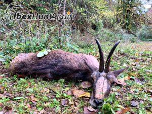 Pyrenean Chamois hunt