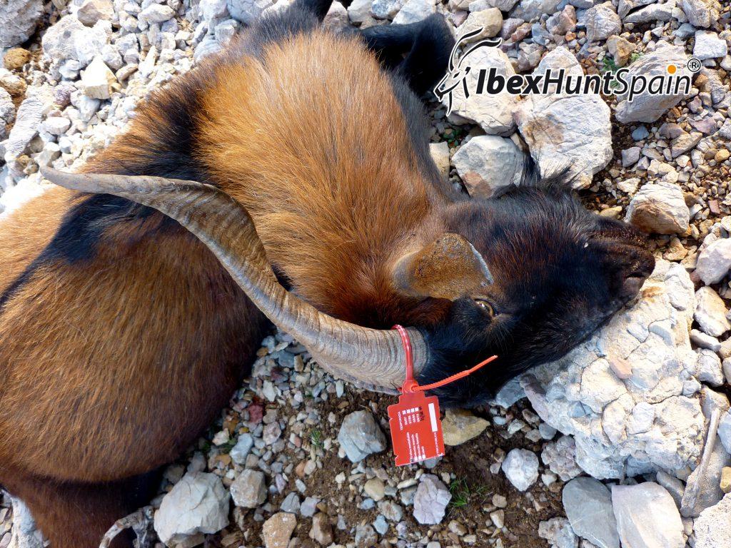 balearian-goat-geir (1)