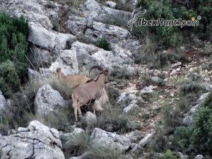Barbary sheep hunt / aoudat hunt