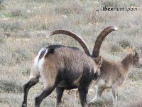 Beceite Ibex HuntBeceite Ibex Hunt