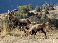 Beceite Ibex Hunt