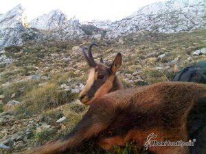 Cantabrian chamois Hunting