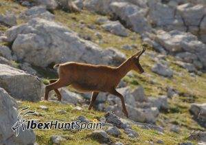 Cantabrian Chamois hunt