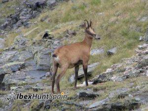 Cantabrian Chamois hunt