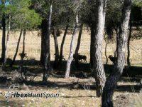 Iberian Mouflon Hunt