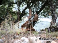 Fallow deer hunt