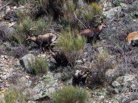 Gredos Ibex hunt