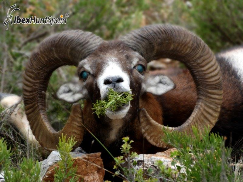 iberian-mouflon-2