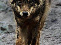Iberian Wolf Hunt
