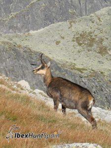 Pyreenan Chamois Hunt