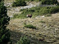 Pyreenan Chamois Hunt