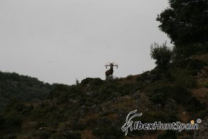 Iberian red deer hunt