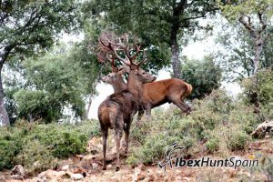 red stag hunt
