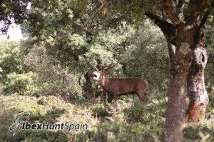 Iberian red deer hunt