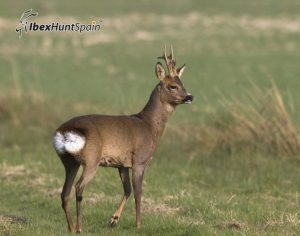 Roe deer hunt