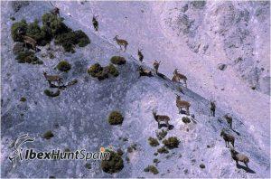 Sierra nevada ibex / southeastern ibex